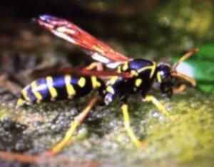 蜂刺された時の腫れの症状 アシナガバチ