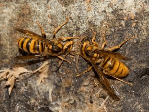 蜂刺された時の腫れの症状 スズメバチ