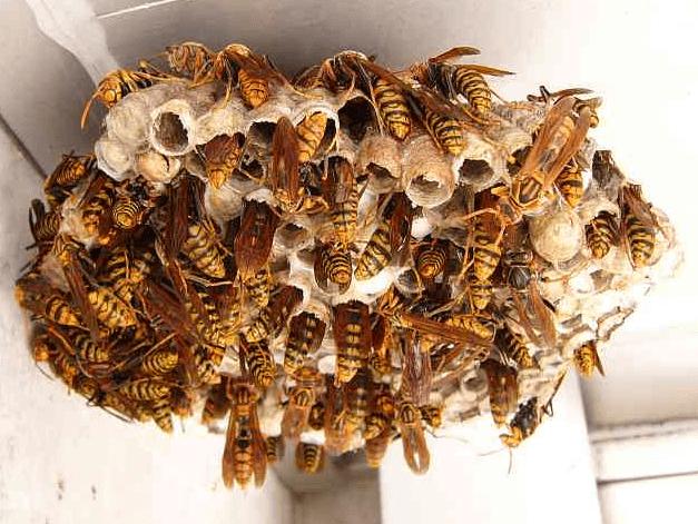 蜂の巣を作らせない方法はスプレー?作り始めたらすぐに駆除!