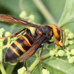 スズメバチの蜂の巣を作らせない方法