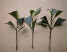 ガジュマルの木の育て方 挿し木