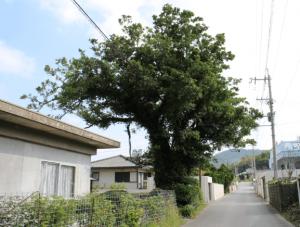 ガジュマルの木の育て方 剪定
