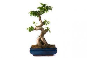 ガジュマルの木の育て方